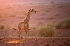 Giraff i eftermiddagljus Fotografering för Bildbyråer