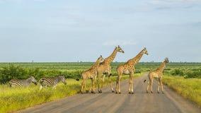 Giraff i en grön savannah som korsar vägen, Kruger parkerar, Sydafrika Arkivbild