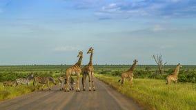 Giraff i en grön savannah som korsar vägen, Kruger parkerar, Sydafrika Arkivbilder