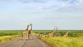 Giraff i en grön savannah som korsar vägen, Kruger parkerar, Sydafrika Royaltyfri Bild
