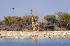 Giraff i en waterhole i den Etosha nationalparken i Namibia, Afrika Arkivbild