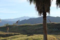 Giraff i Forest Mountain Background arkivbild