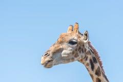 Giraff i Franklin Nature Reserve Arkivfoton