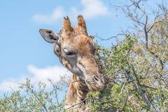 Giraff i Franklin Nature Reserve Royaltyfria Foton
