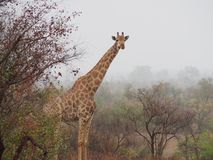 Giraff i misten i Afrika royaltyfri bild