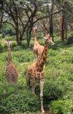 Giraff i Nairobi Kenya arkivfoto