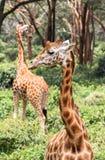 Giraff i Nairobi Kenya royaltyfri fotografi