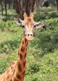 Giraff i Nairobi Kenya royaltyfri bild