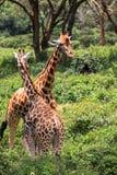 Giraff i Nairobi Kenya fotografering för bildbyråer
