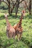 Giraff i Nairobi Kenya arkivbild