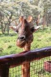 Giraff i Nairobi Kenya royaltyfri foto