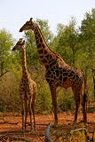 Giraff i Namibia Arkivfoton