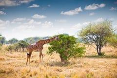 Giraff i nationalpark i Tanzania Royaltyfri Bild