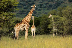 Giraff i naturlig livsmiljö Arkivbild