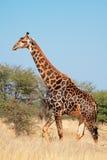 Giraff i naturlig livsmiljö Arkivfoto