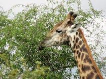 Giraff i naturreserv Royaltyfri Foto