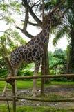 Giraff i parkera Royaltyfri Fotografi