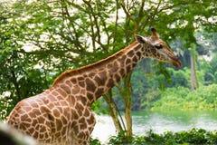 Giraff i parkera Royaltyfria Bilder
