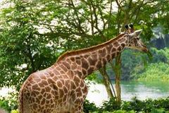 Giraff i parkera Arkivfoto