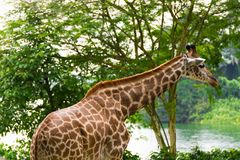 Giraff i parkera Royaltyfri Bild