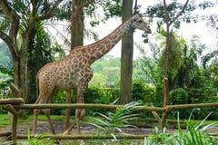 Giraff i parkera Fotografering för Bildbyråer