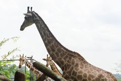 Giraff i parkera Royaltyfria Foton