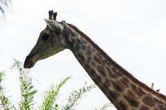 Giraff i parkera Arkivbild