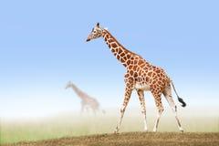 Giraff i savann royaltyfria bilder