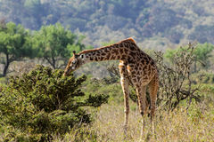 Giraff i savann Arkivbilder