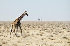 Giraff i savannahen, Namibia fotografering för bildbyråer