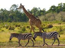 Giraff i savannahen tillsammans med sebror kenya tanzania 5 2009 för tanzania för östlig marsch för maasai för africa dans utföra Royaltyfri Foto