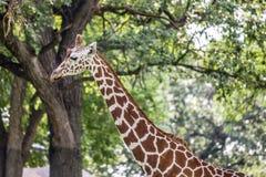 Giraff i skog Arkivbild