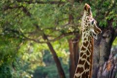 Giraff i skog Fotografering för Bildbyråer