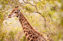 Giraff i träden Royaltyfria Bilder