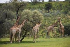 Giraff i Transfrontier Kgalagadi parkerar Arkivfoton
