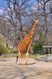 Giraff i zoo Arkivbild