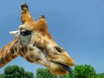 Giraff i zoo Italien för Fasano apuliasafari arkivfoto