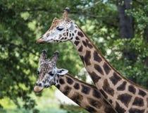 Giraff i ZOO, Pilsen, Tjeckien Arkivfoton