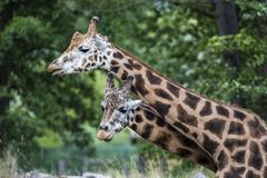 Giraff i ZOO, Pilsen, Tjeckien Royaltyfri Fotografi