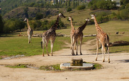 Giraff i zoo Prague Royaltyfri Bild