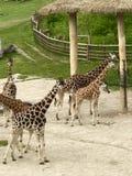 Giraff i zoo Praha Arkivfoton