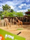 Giraff i zooen Arkivfoto