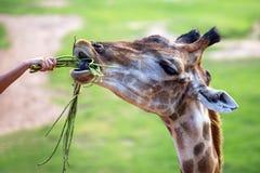 Giraff i zooen Arkivbilder