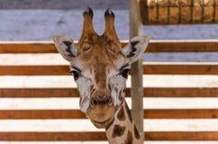 Giraff i zooen Royaltyfria Bilder