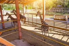 Giraff i zooen Royaltyfria Foton