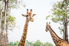 Giraff i zooen Arkivbild