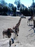 Giraff i zooen Arkivfoton