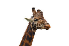 giraff isolerad white Royaltyfria Bilder