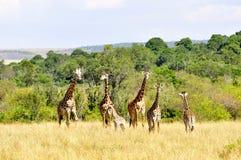 Giraff (Kenya) Arkivbilder