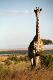 giraff kenya Fotografering för Bildbyråer